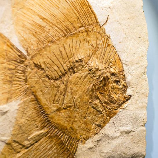 Fossile pesce